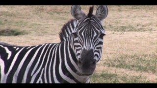 TERRA 503: Why Don't We Ride Zebras?