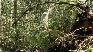 TERRA 529: Angels of the Forest: Silky Sifaka Lemurs of Madagascar – Part 2