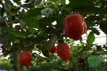 TERRA 310: Picante! The Power of Peppers – Part 2