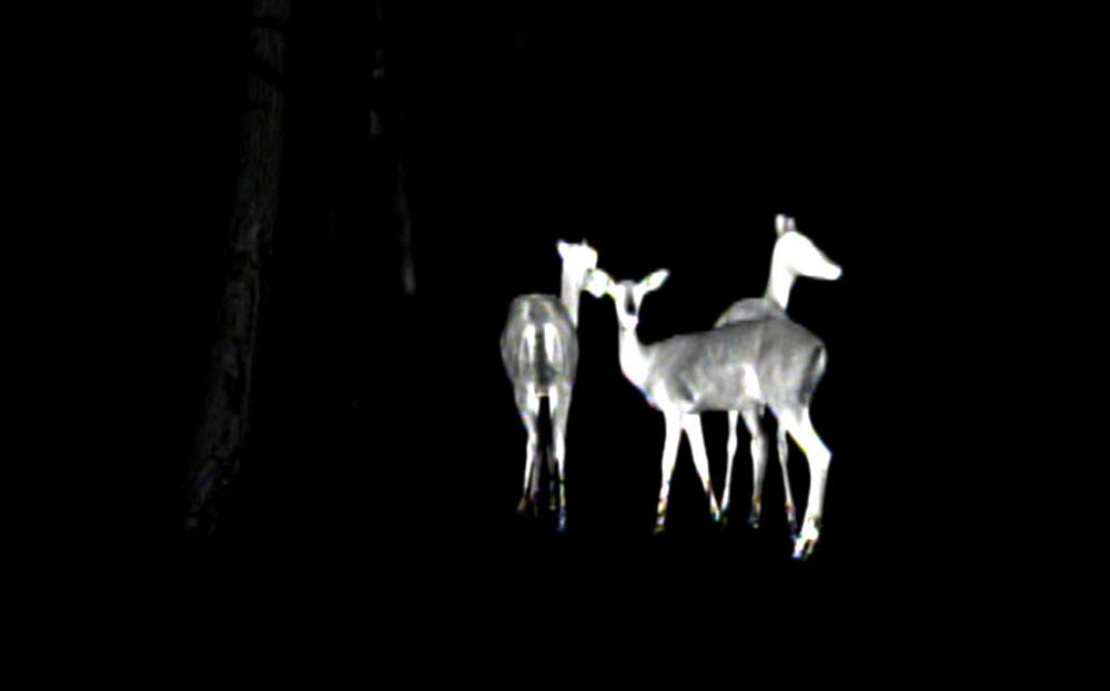 Impala through the Thermal Camera