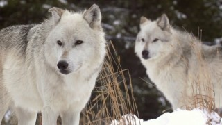 TERRA 826: A Wolf's Place