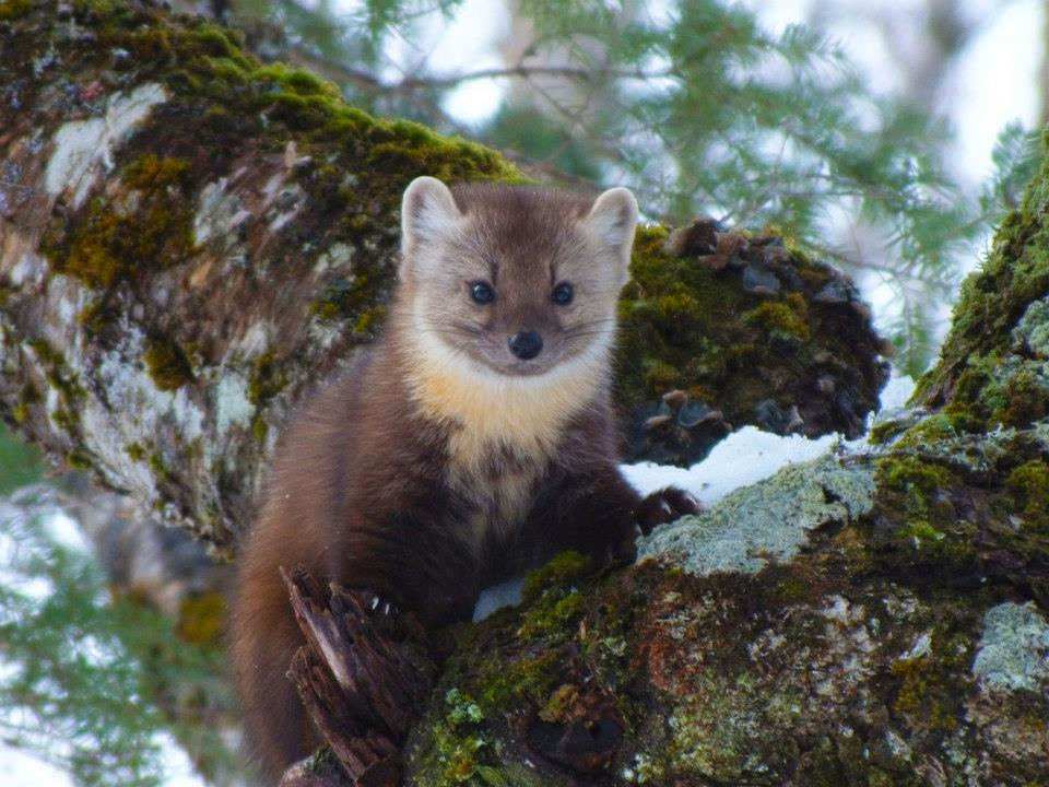 TERRA:  What surprised you the most about working with such an elusive predator?  Did you ever get to see a marten?
