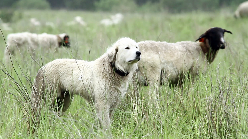TERRA:  How did you decide to make a film about livestock guardian dogs?
