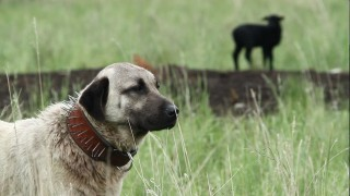 TERRA 1007: Livestock Guardian Dogs: Working on Common Ground