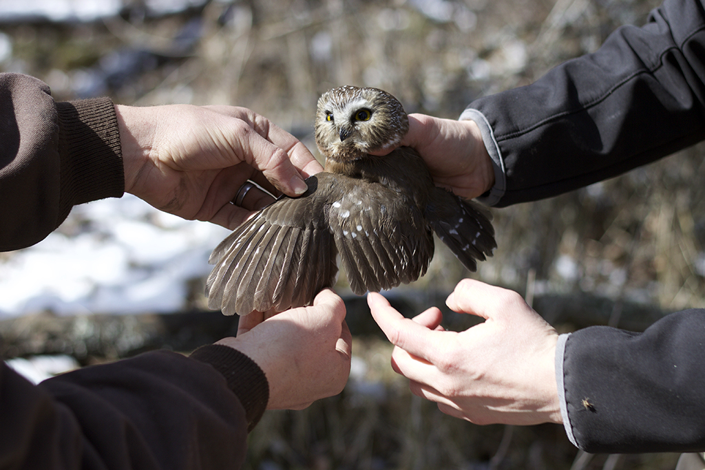 TERRA:  What inspired you to make a film about Montana's owls?