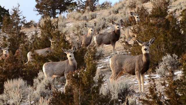TERRA 1032: Bridger Mule Deer