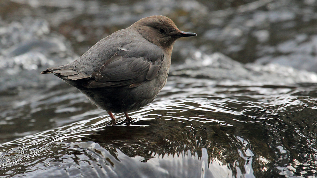 TERRA:  What inspired you to make a film about the American Dipper?